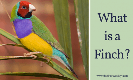 What is a Finch?