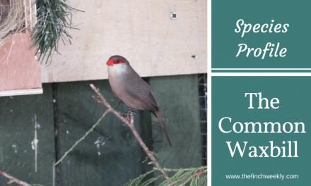 The Common Waxbill