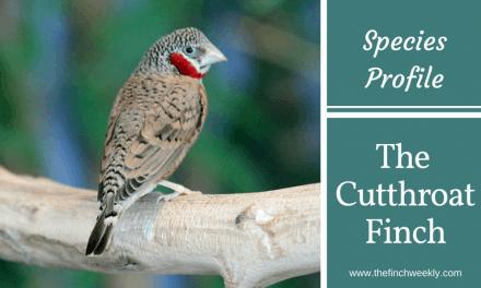 The Cut throat Finch