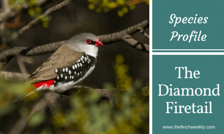The Diamond Firetail