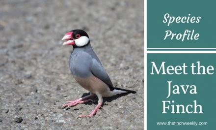 Meet The Java Finch
