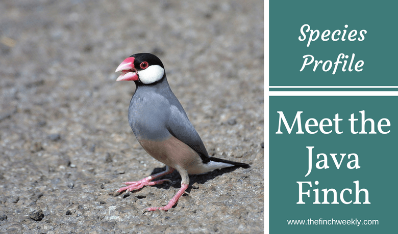 Meet The Java Finch - The Finch Weekly