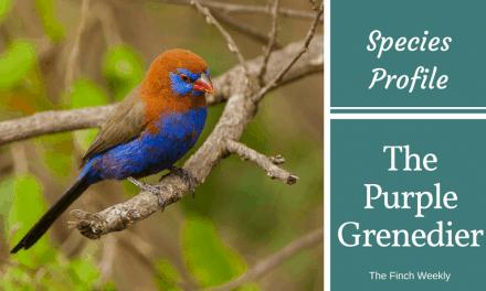 Waxbills – The Purple Grenadier